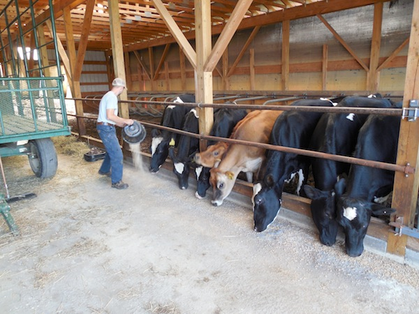 Cows Come Home to Canaan - MAINE FARMLAND TRUST