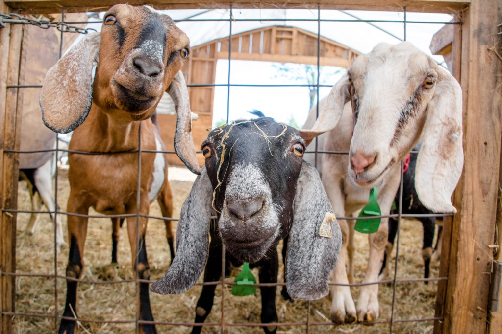 The Faces Of Farms: Nubian Goats Of Tide Mill Creamery