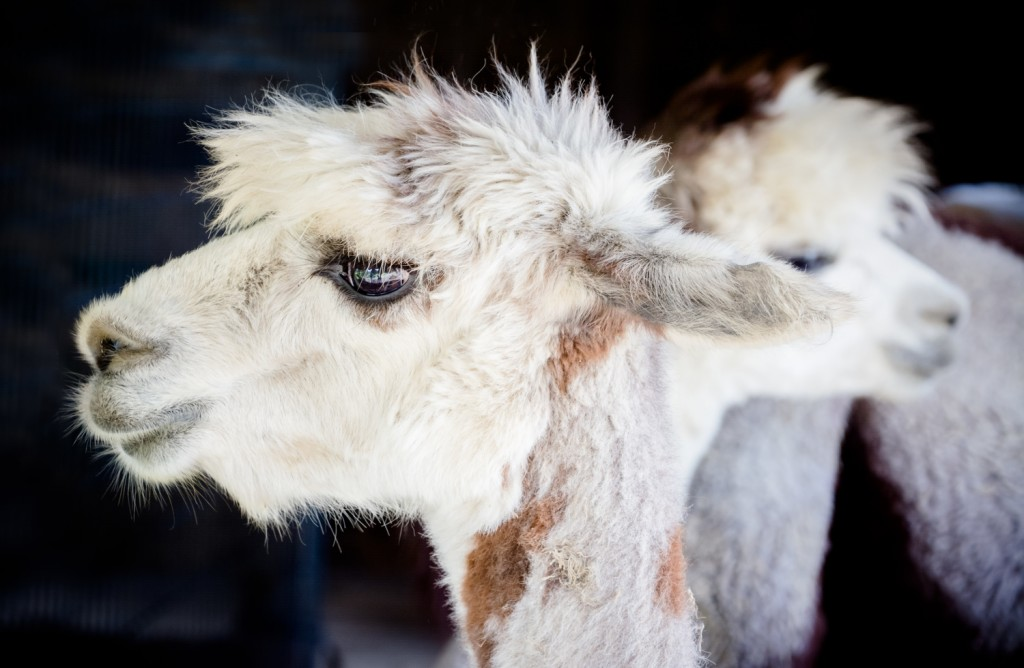 The Faces Of Farms: Alpaca In The Raw
