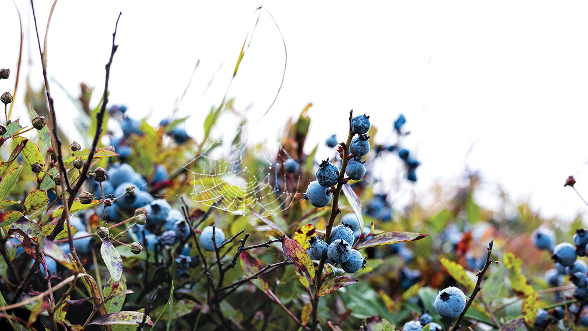 In Blueberry Country, Two Farms Hand The Rake To The Next Generation