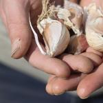 Singing to Garlic: Maine's farmer musicians