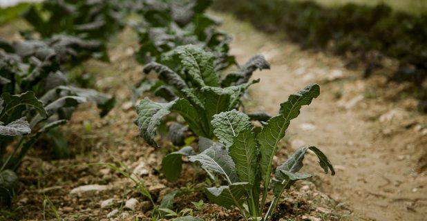 Kale Growing At Songbird Farm