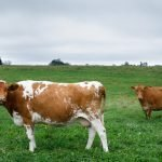 Maine's Dairy Farms Need Our Support